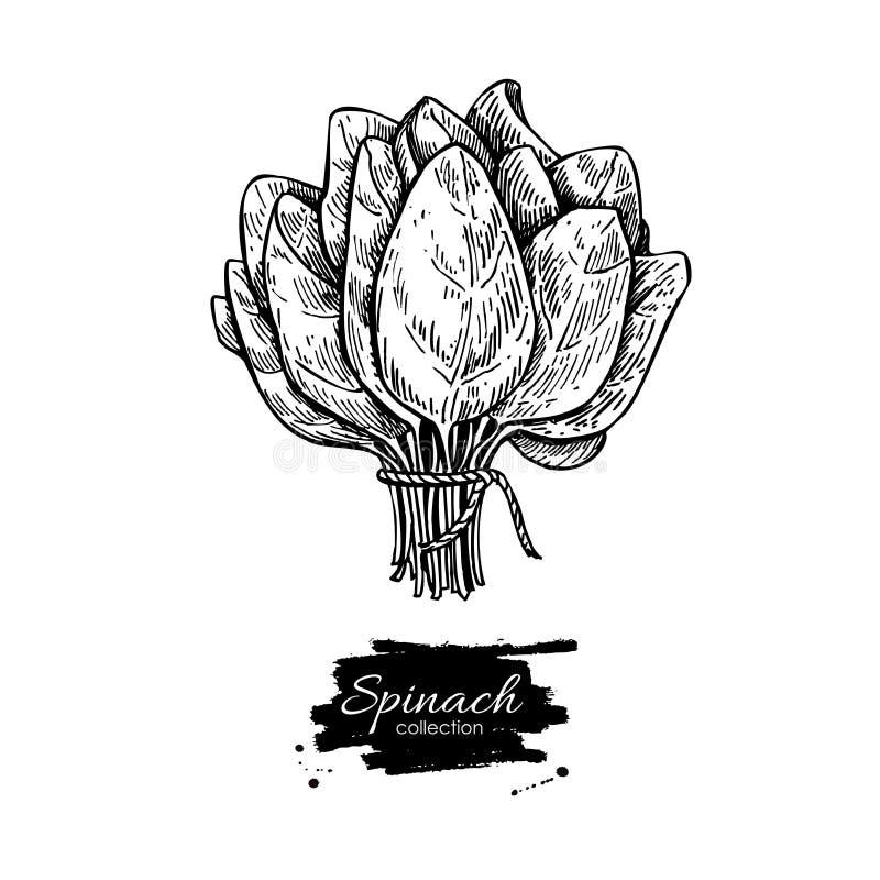 Groupe d'épinards tiré par la main Les épinards d'isolement partent du dessin illustration stock