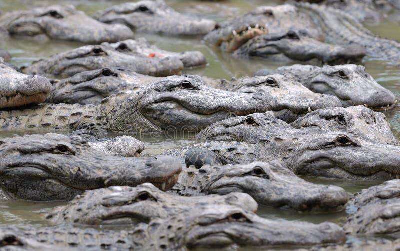 Groupe d'alligators photo stock