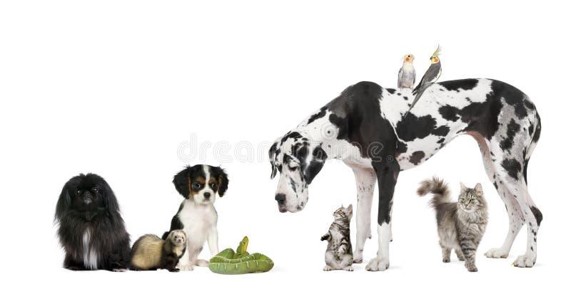 Groupe d'animaux familiers devant le fond blanc image libre de droits