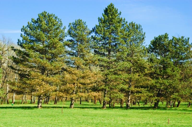 Groupe d'arbres de pin photos stock