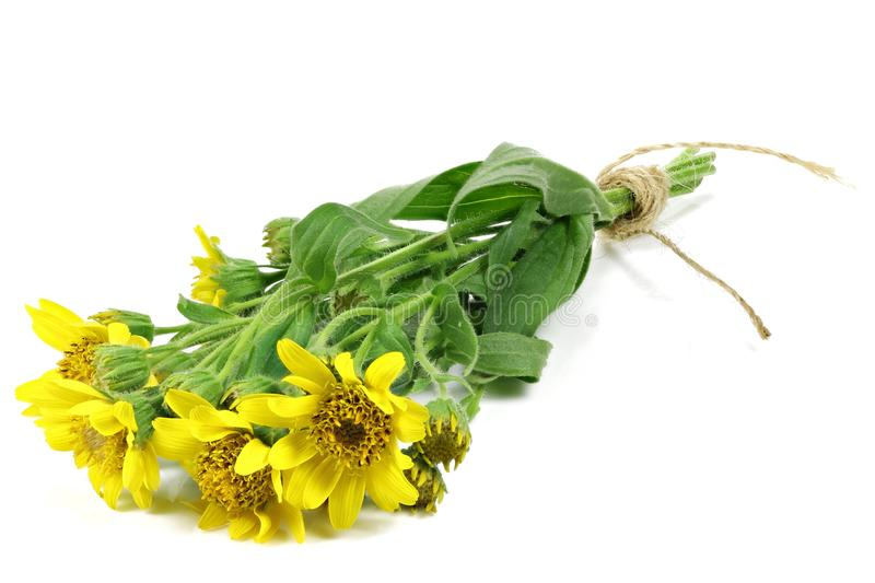 Groupe d'arnica image stock