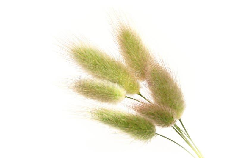 Groupe d'herbe de lièvre-queue (ovatus de Lagurus). photographie stock libre de droits