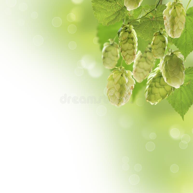 Groupe d'houblon image stock
