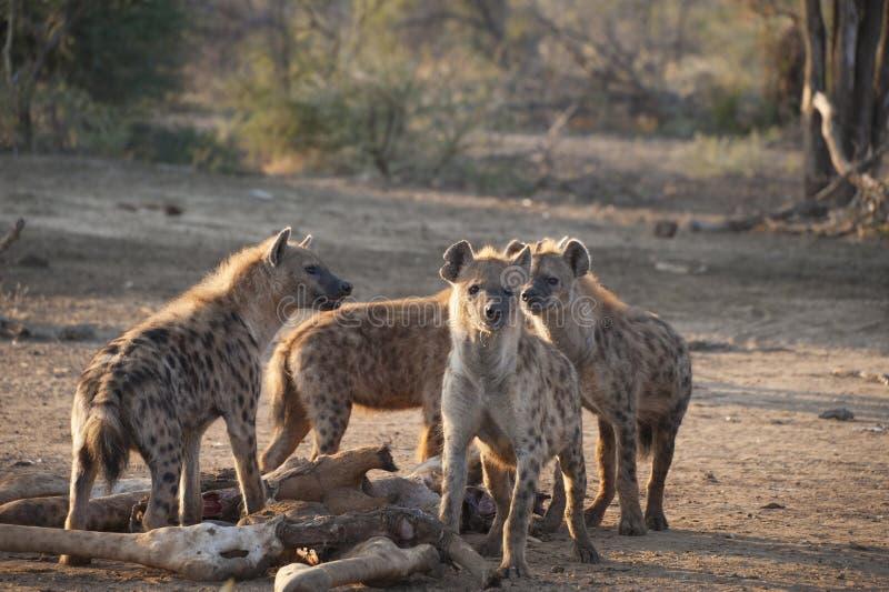 Groupe d'hyènes mangeant une girafe images libres de droits