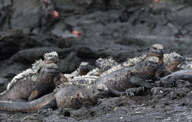 Groupe d'iguane marin sur des îles de Galapagos images stock