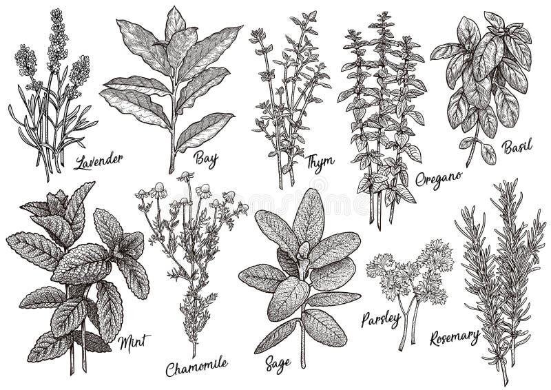 Groupe d'illustration d'herbes et d'épices, dessin, gravure, encre, schéma, vecteur illustration de vecteur