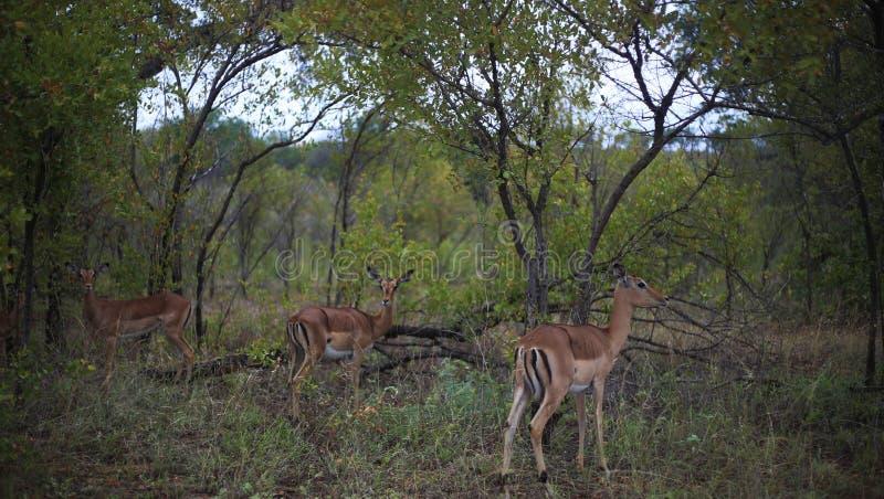 Groupe d'impala photo stock