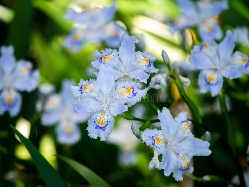 Groupe d'iris frangés japonais photo libre de droits