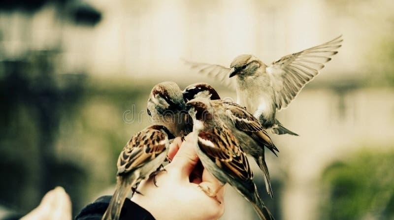 Groupe d'oiseaux de moineaux alimentant sur une main images stock