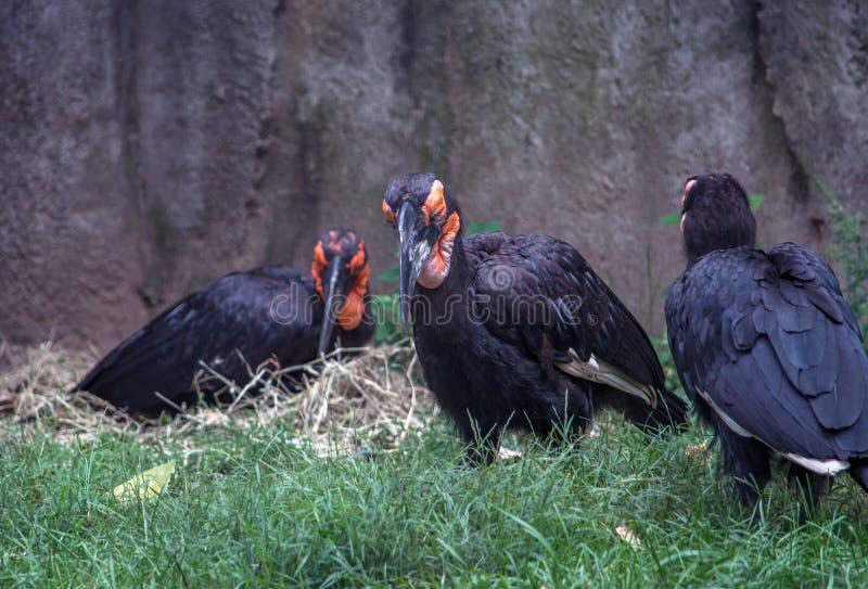 Groupe d'oiseaux moulus de calao image stock