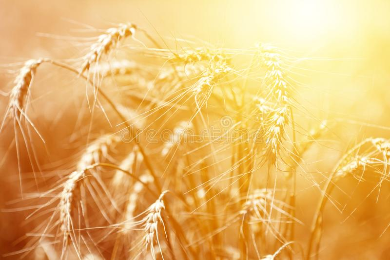 Groupe d'oreilles mûres de seigle au coucher du soleil d'or photographie stock libre de droits