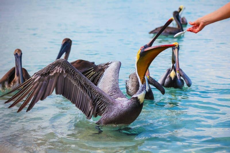 Groupe de alimentation de pélicans sur la plage Varadero, Cuba, avec des poissons images libres de droits