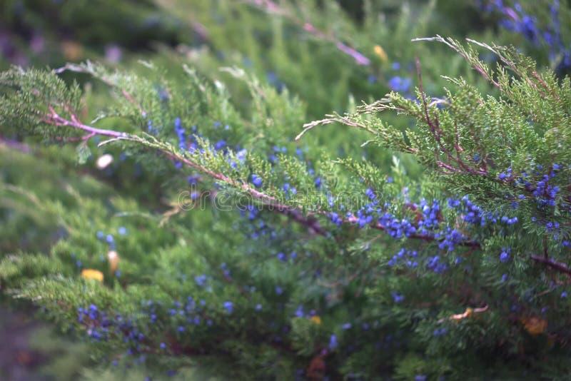 Groupe de baies de genévrier sur une branche verte photos libres de droits