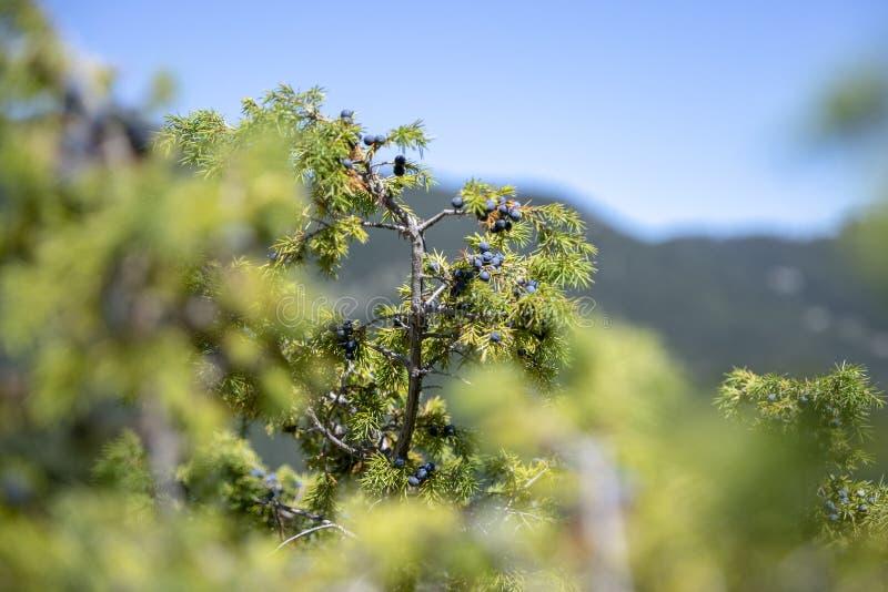 Groupe de baies de genévrier sur une branche verte en automne images stock