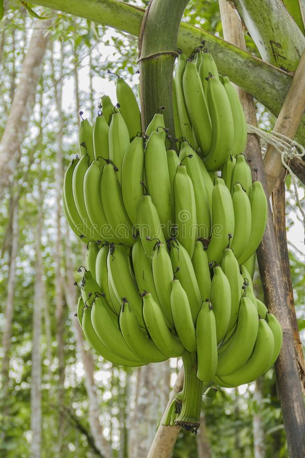 Groupe de banane de Cavendish photo stock