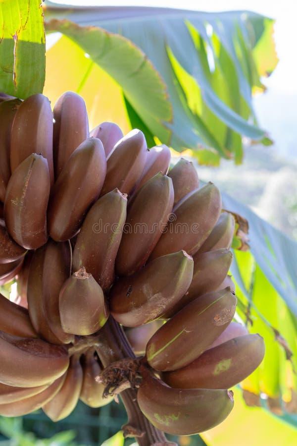 Groupe de bananes rouges douces raccrochant sur la fin de palmier de banane photos libres de droits