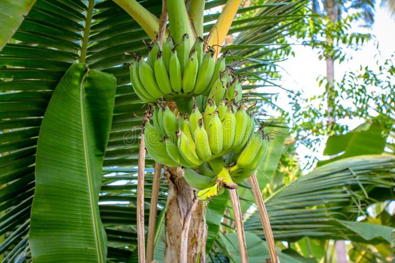 Groupe de bananes sur l'arbre images stock