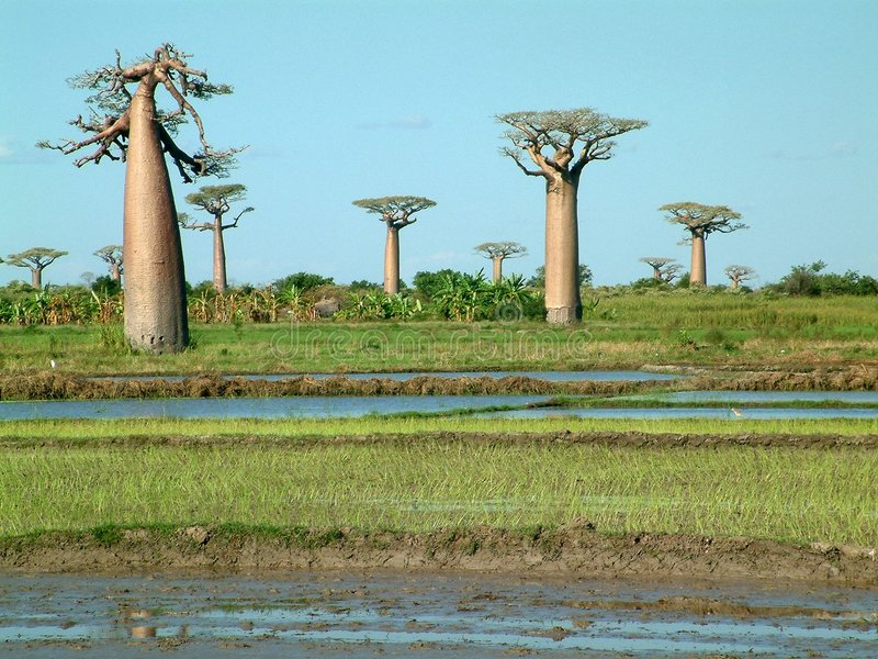 Groupe de baobabs - certains bruit visible photo libre de droits