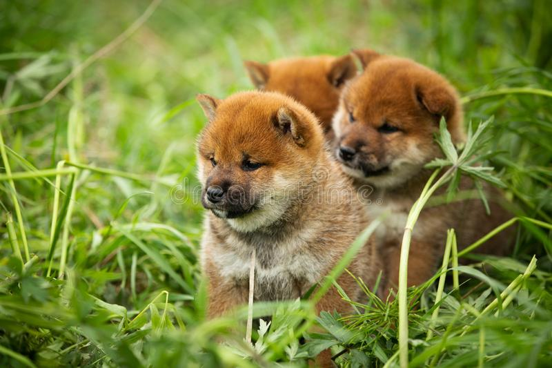 Groupe de beaux chiots rouges d'inu de shiba se reposant dans l'herbe verte image stock