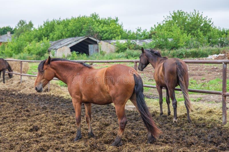 Groupe de beaux jeunes chevaux sur le pâturage chez la ferme ou ranch d'animaux, bétail rural ou terres cultivables photos stock