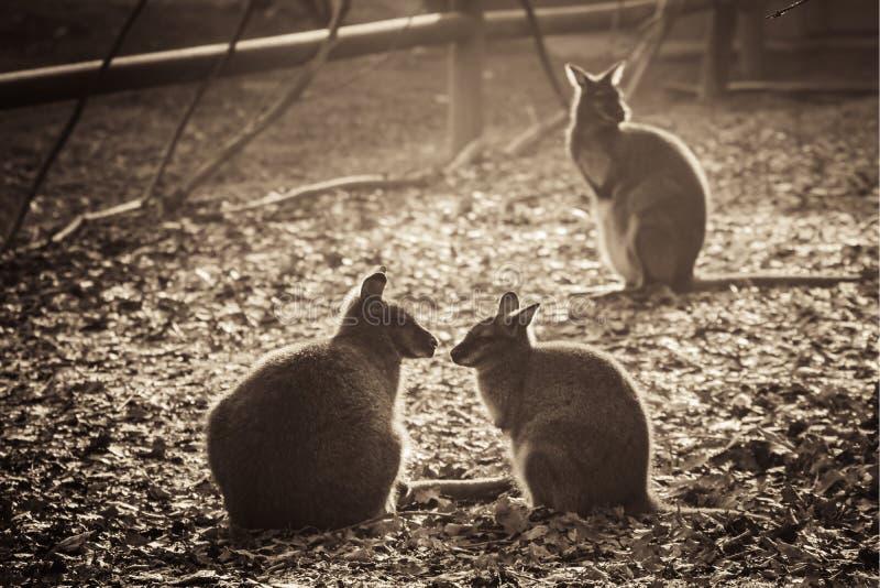 Groupe de beaux kangourous explorant à la lumière du soleil noire et blanche de sépia photographie stock