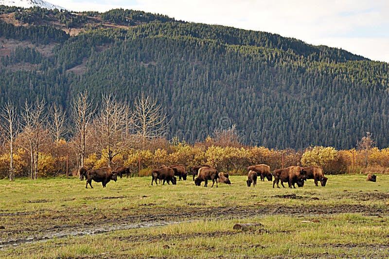 Groupe de boeufs sauvages en Alaska images stock