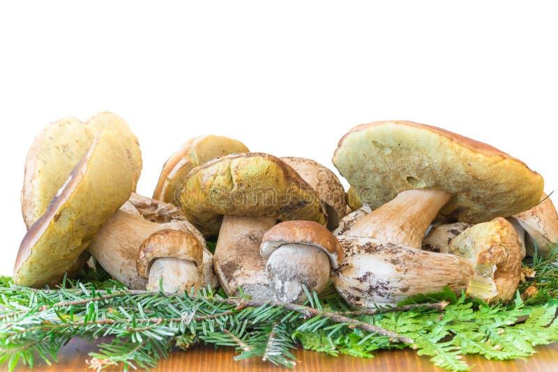 Groupe de boletus de champignons edulis, excellents champignons comestibles photos stock