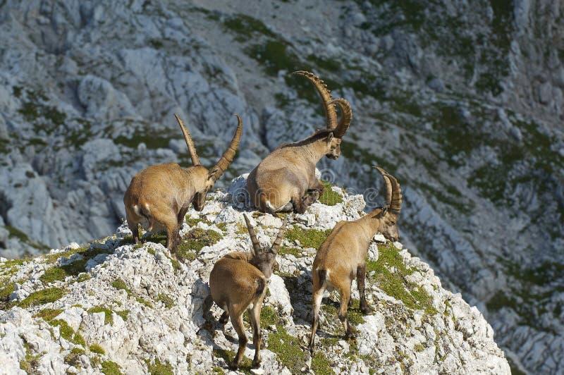 Groupe de bouquetin sauvage dans les Alpes juliens en Slovénie photographie stock