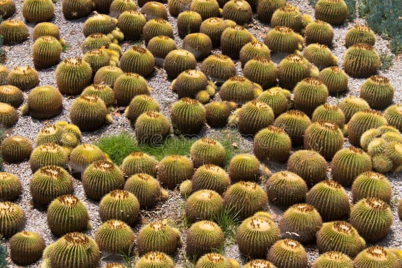 Groupe de cactus ronds photographie stock libre de droits