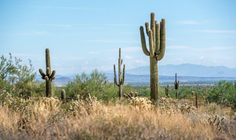 Groupe de cactus de Saguaro dans le paysage de désert photos stock