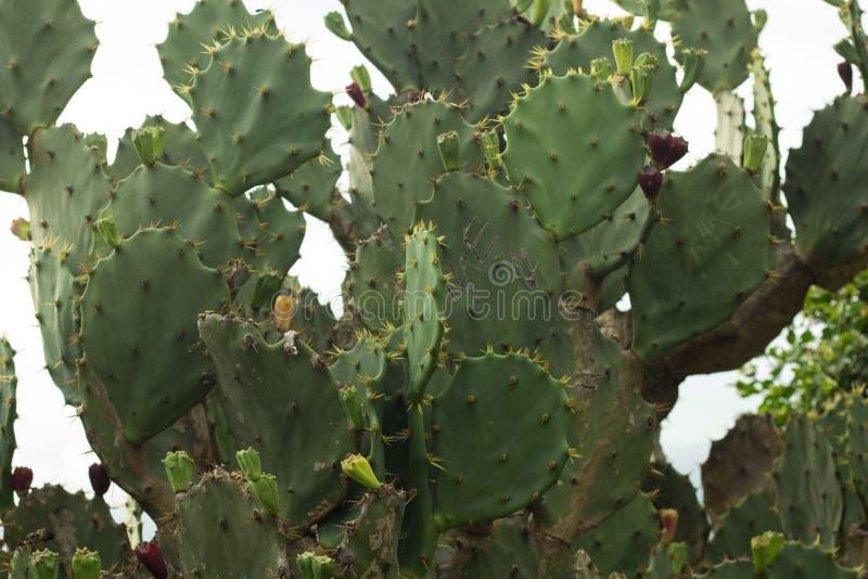 Groupe de cactus vraie texture verte de cactus de nature photo libre de droits