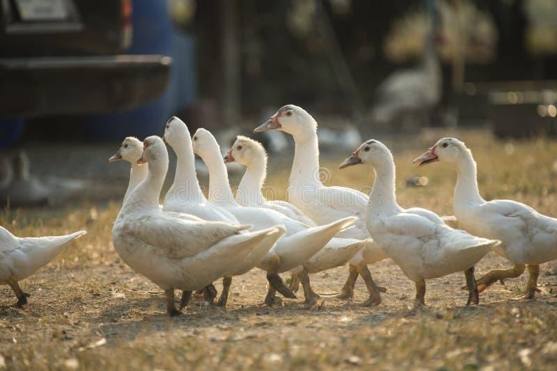 Groupe de canard dans la ferme thaïlandaise, Thaïlande photographie stock