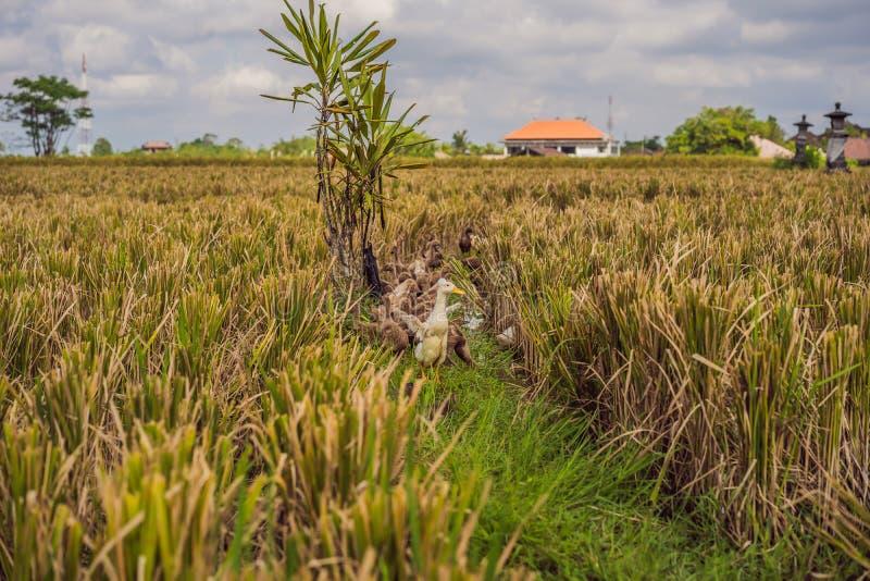 Groupe de canards de côté des gisements de riz dans Bali photo stock
