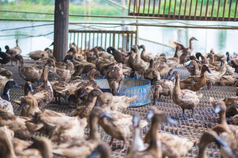 Groupe de canards dans la ferme, agriculture traditionnelle en Thaïlande image stock