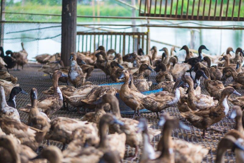 Groupe de canards dans la ferme, agriculture traditionnelle en Thaïlande photographie stock libre de droits