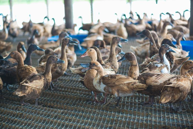 Groupe de canards dans la ferme, agriculture traditionnelle en Thaïlande photos libres de droits