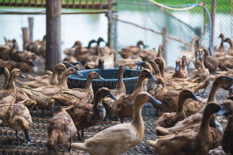 Groupe de canards dans la ferme, agriculture traditionnelle en Thaïlande photographie stock