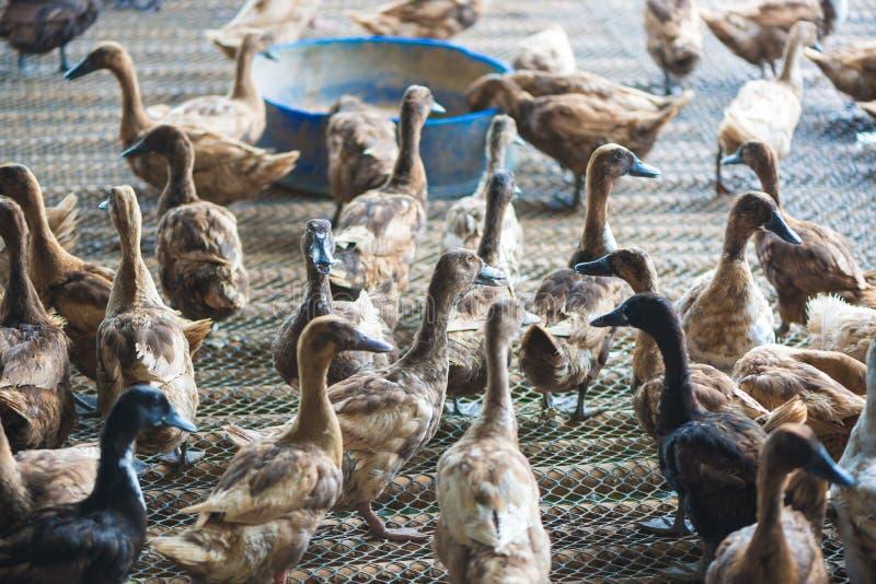 Groupe de canards dans la ferme, agriculture traditionnelle en Thaïlande photos stock