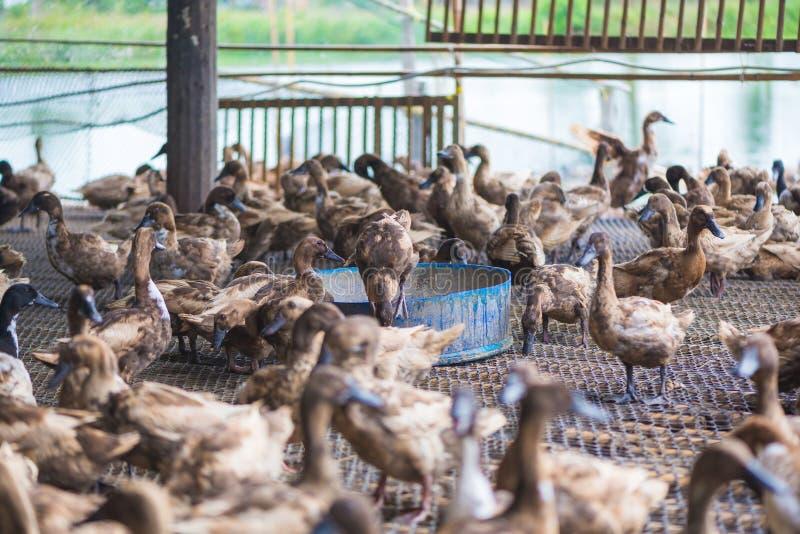 Groupe de canards dans la ferme, agriculture traditionnelle en Thaïlande photo libre de droits