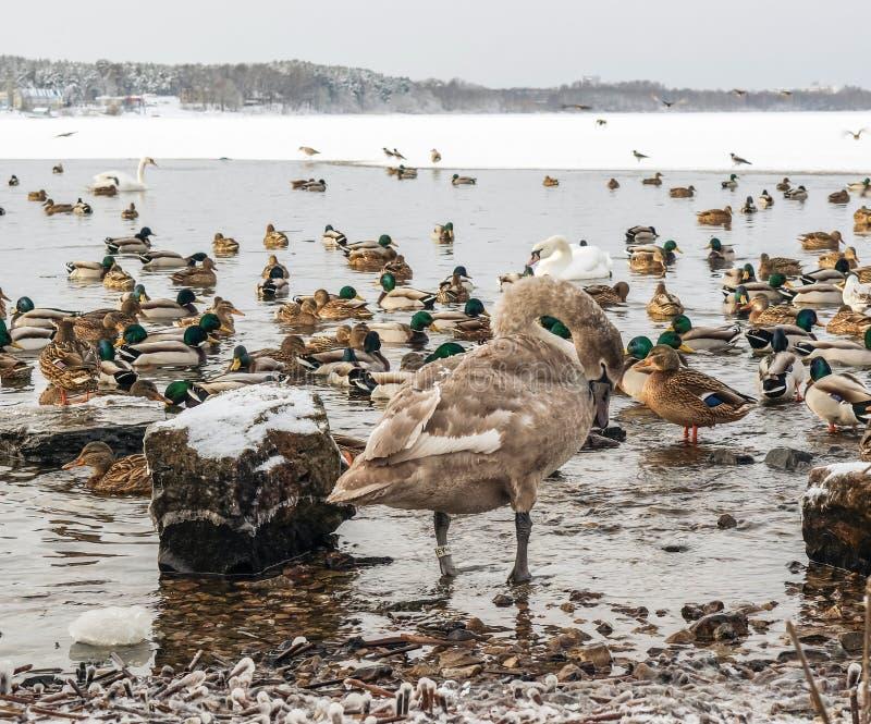Groupe de canards et de cygnes images stock