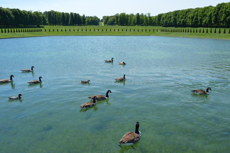 Groupe de canards flottant sur le lac photographie stock libre de droits