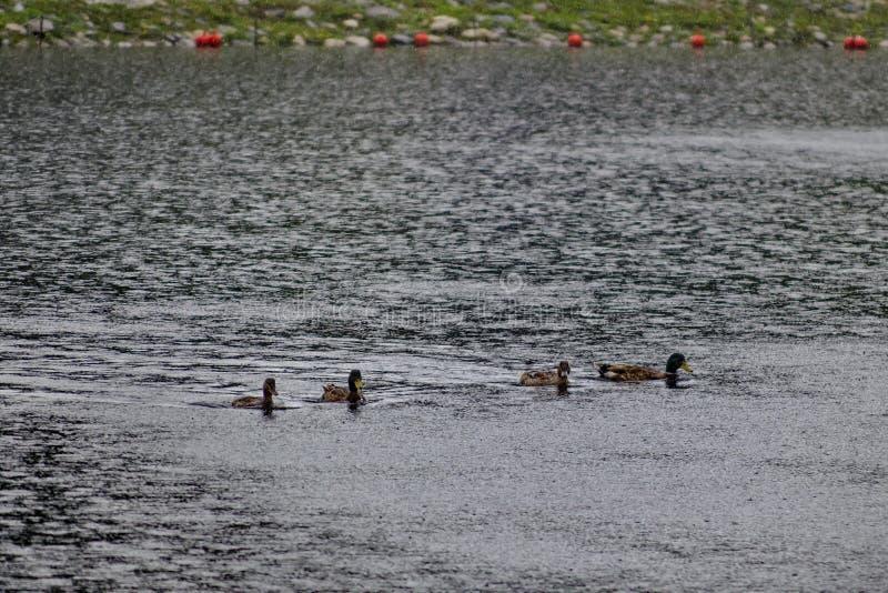 Groupe de canards masculins et femelles de canard nageant dans le lac artificiel un jour pluvieux en parc de rila images libres de droits