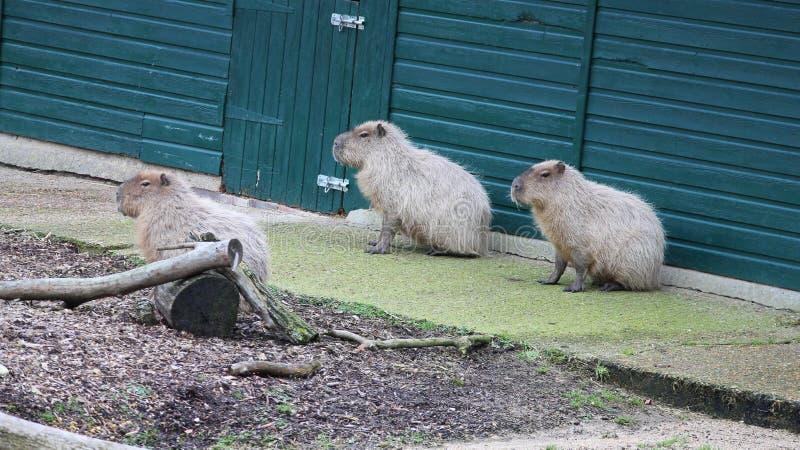Groupe de Capybara de trois se reposant image libre de droits