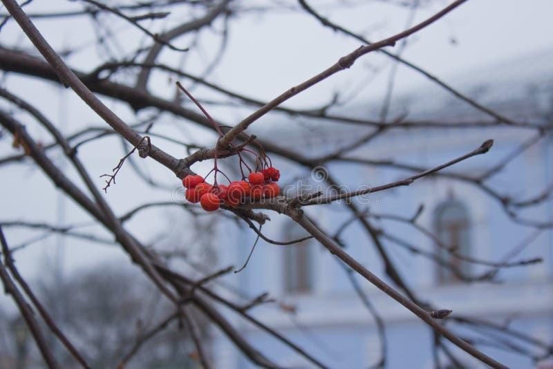 Groupe de cendre de montagne sur les branches nues images stock