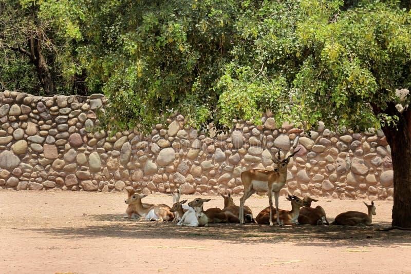 Groupe de cerfs communs images stock