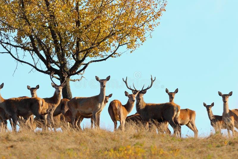 Groupe de cerfs communs rouges dans la saison d'accouplement image libre de droits