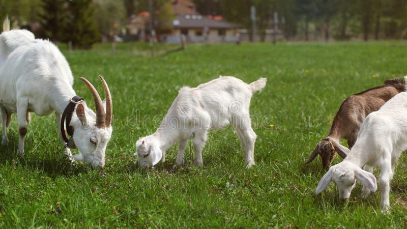 Groupe de chèvres, mère féminine et trois jeunes garçons, frôlant sur g image stock