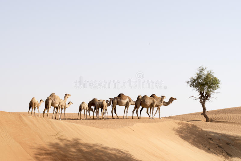 Groupe de chameau photos stock