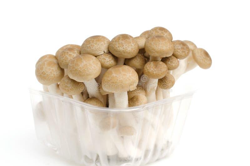 Groupe de champignon brun de Shimeji de hêtre image libre de droits