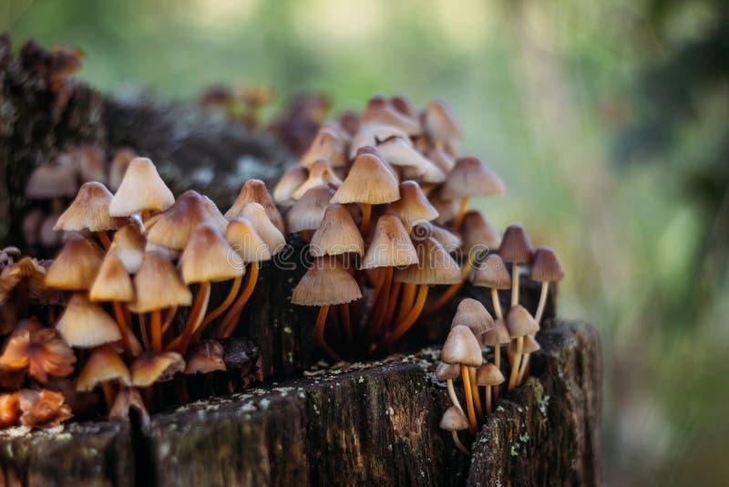 Groupe de champignon d'inclinata de Mycena sur le vieux plan rapproché putréfié de tronçon Un groupe de petits champignons bruns  photo stock
